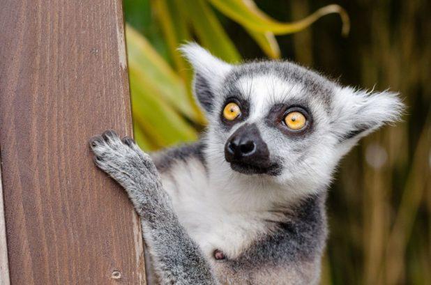 Lemurien à Madagascar