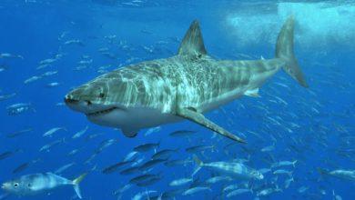 Plonger avec un grand requin blanc