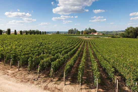 Vigne de vin à Bordeaux Saint-Emilion