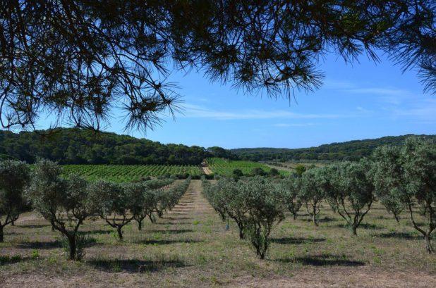 Vigne sur l'île de Porquerolles