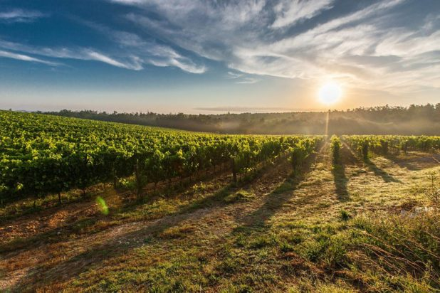 Vignes de vin